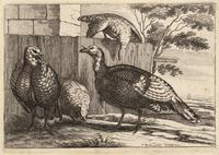 Four turkeys