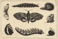 Three caterpillars, a moth and four butterflies