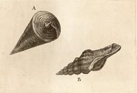 Potamides telescopium and fusinus laticostatus