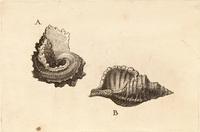 Angaria laciniata